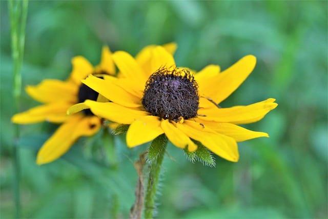Black Eyed Susan Flower  - Alathomas / Pixabay